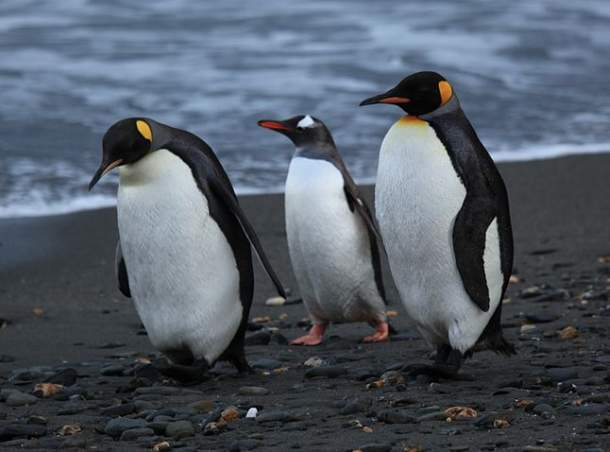 Two king penguins with a Gentoo penguin