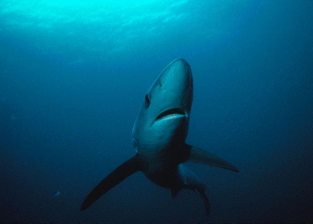 By Greg Skomal, National Marine Sanctuaries, NOAA (http://sanctuaries.noaa.gov/wallpaper/) Wikimedia Commons