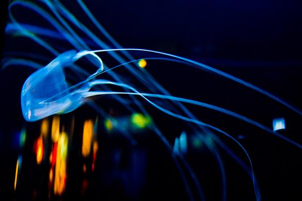 Box Jellyfish (Alexandra Roberts / Flickr)
