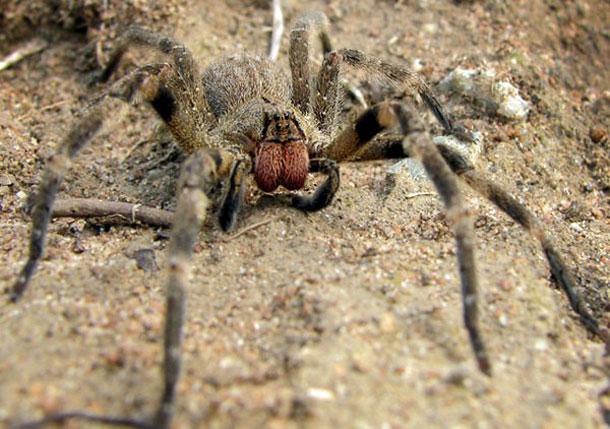 Brazilian Wandering Spider (Wikipedia)