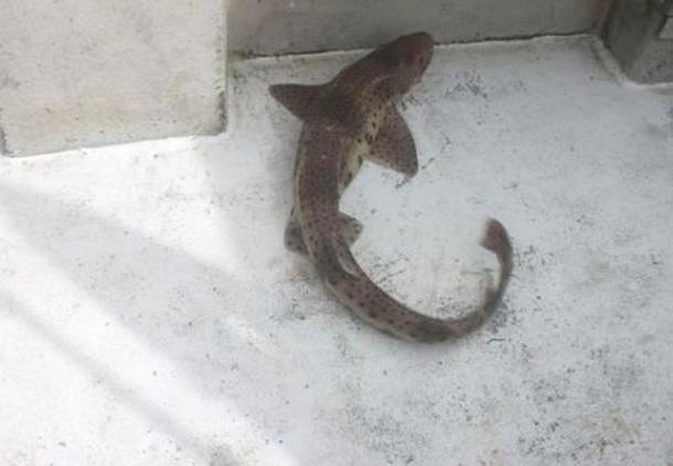 Catfish (Wikipedia)
