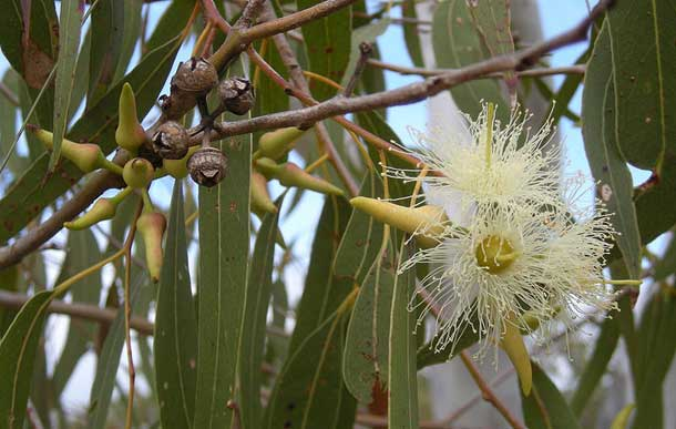 Genetically Modified Eucalyptus