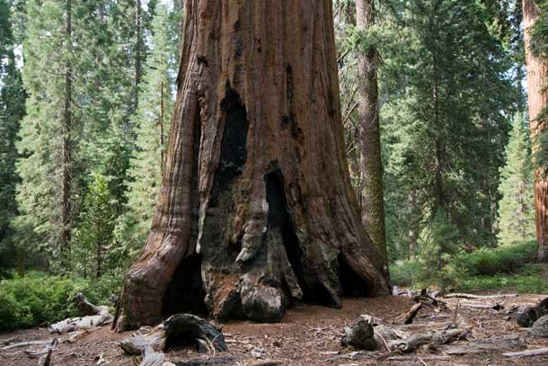 Giant-Sequoia