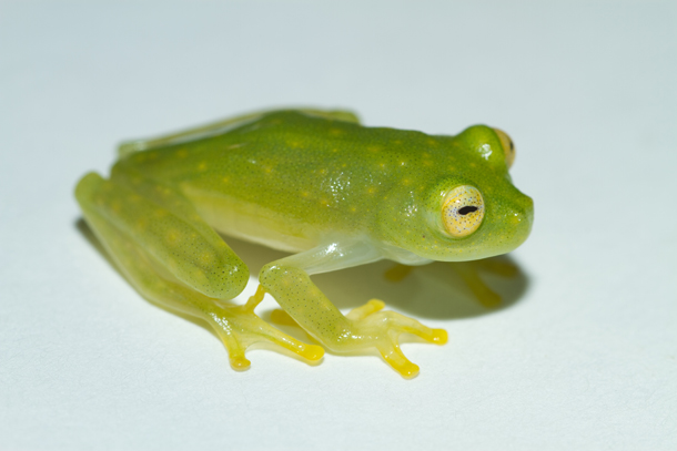 Glass Frogs (Wikepedia)