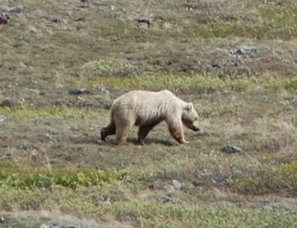 Grolar Bears (btmspox / Flickr)