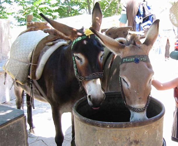 Mules (Wikipedia)