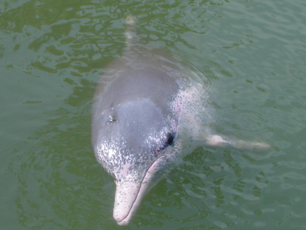 Pink Dolphin (Wikepedia)