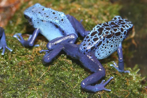 Poison Dart Frog (cliff1066™ / Flickr)