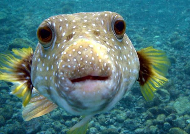 Puffer Fish (Wikipedia)