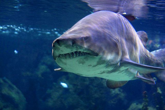 10 most dangerous sharks in the ocean curiosity aroused