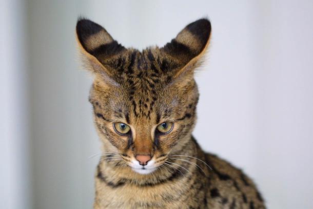 Savannah Cats (Wikipedia)