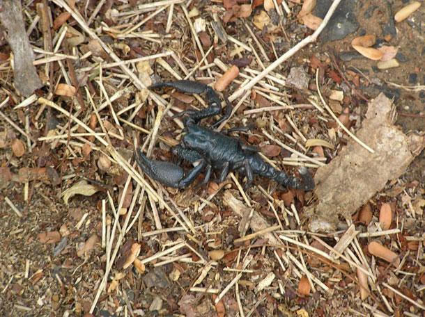 Death Stalker Scorpion (Enygmatic-Halycon / Flickr)