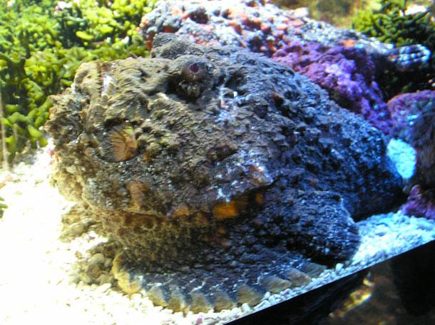 The Stonefish (Wikipedia)