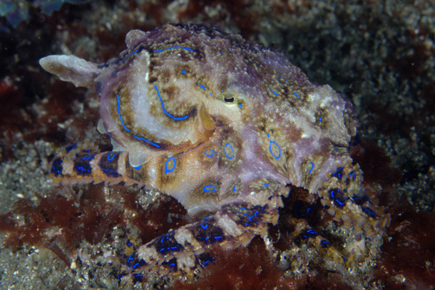 The Blue-Ringed Octopus (PacificKlaus / Flickr)