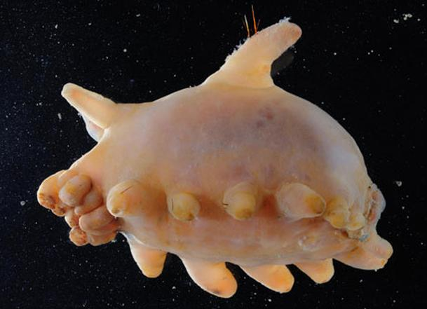 Antarctic Sea Pig