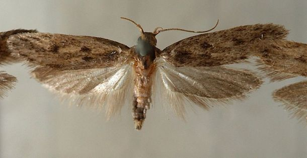 brown dotted clothes moth