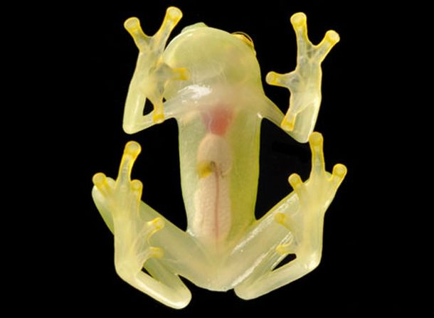 Glass Frog (Photo credit: Luis Coloma / Conservation International)