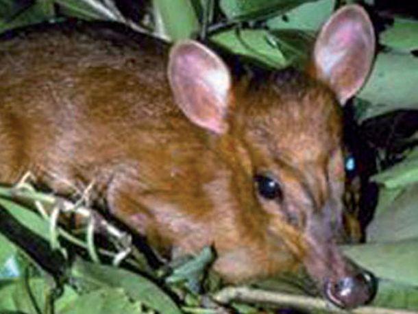 Leaf Deer