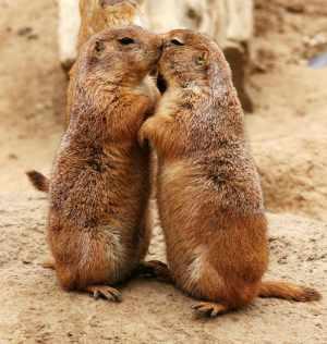 """Prairie Dogs """"Kissing"""""""