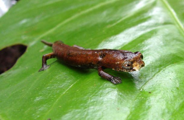 ugly salamander